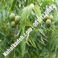 خرید نهال گردوی آمریکایی  خرید نهال گردو آمریکایی   گردو آمریکایی   نهالکده بزرگ تهران 09121270623 دکتر ماندگار (کپی)