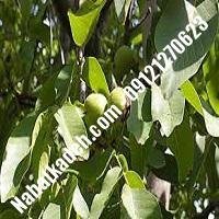 خرید نهال گردوی هارتلی خرید  نهال گردو هارتلی  گردو هارتلی  نهالکده بزرگ تهران 09121270623 دکتر ماندگار