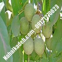 فروش نهال گردوی گردوکن  فروش نهال گردو گردوکن   گردو گردوکن   نهالکده بزرگ تهران 09121270623 دکتر ماندگار
