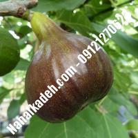 نهال انجیر قهوه ای اصلاح شده   نهالستان خاورمیانه 09121270623 دکتر ماندگار
