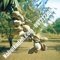 نهال بادام پوست کاغذی  بادام پوست کاغذی  نهالستان خاورمیانه 09121270623 دکتر ماندگار