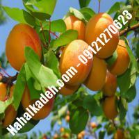 نهال زردآلو قیاسی | زردآلو قیاسی | نهالستان خاورمیانه 09121270623 دکتر ماندگار