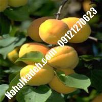نهال زردآلو نیوکاسل | زردآلو نیوکاسل | نهالستان خاورمیانه 09121270623 دکتر ماندگار
