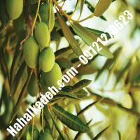 نهال زیتون زرد  زیتون زرد  نهالستان خاورمیانه 09121270623 دکتر ماندگار