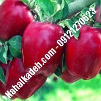 نهال سیب استارکینگ اصلاح شده | نهالستان خاورمیانه 09121270623 دکتر ماندگار