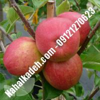 نهال سیب بلک مریکال اصلاح شده   نهالستان خاورمیانه 09121270623 دکتر ماندگار