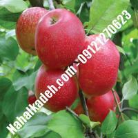 نهال سیب جوناتان اصلاح شده   نهالستان خاورمیانه 09121270623 دکتر ماندگار