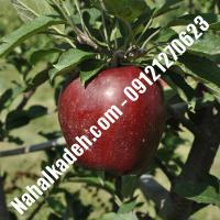 نهال سیب رددلشیز اصلاح شده   نهالستان خاورمیانه 09121270623 دکتر ماندگار