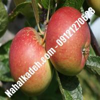 نهال سیب ردمریکال اصلاح شده   نهالستان خاورمیانه 09121270623 دکتر ماندگار