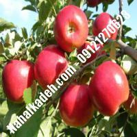 نهال سیب رم بیوتی اصلاح شده | نهالستان خاورمیانه 09121270623 دکتر ماندگار