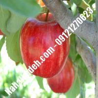 نهال سیب سوپرچیف اصلاح شده | نهالستان خاورمیانه 09121270623 دکتر ماندگار