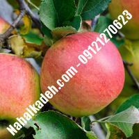 نهال سیب شفیع آبادی اصلاح شده | نهالستان خاورمیانه 09121270623 دکتر ماندگار