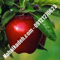 نهال سیب شمیرانی اصلاح شده | نهالستان خاورمیانه 09121270623 دکتر ماندگار