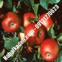 نهال سیب لبنان قرمز اصلاح شده | نهالستان خاورمیانه 09121270623 دکتر ماندگار