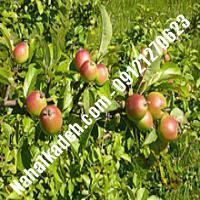 نهال سیب مربایی مشهد اصلاح شده | نهالستان خاورمیانه 09121270623 دکتر ماندگار