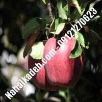 نهال سیب نوری مراغه اصلاح شده   نهالستان خاورمیانه 09121270623 دکتر ماندگار