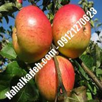 نهال سیب کاکس ارنج اصلاح شده   نهالستان خاورمیانه 09121270623 دکتر ماندگار