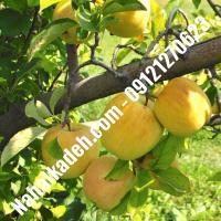 نهال سیب گلدن دلشیز اصلاح شده | نهالستان خاورمیانه 09121270623 دکتر ماندگار