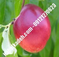 نهال شلیل سیبی دیرگل | نهال شلیل سیبی | نهالستان خاورمیانه ۰۹۱۲۱۲۷۰۶۲۳ دکتر ماندگار