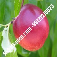 نهال شلیل سیبی دیرگل  نهال شلیل سیبی  نهالستان خاورمیانه 09121270623 دکتر ماندگار