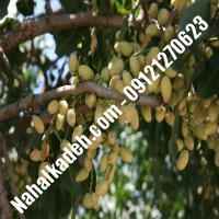 نهال پسته بادامی سفید پیوندی   پسته دامغان پیوندی   نهالستان خاورمیانه 09121270623 دکتر ماندگار