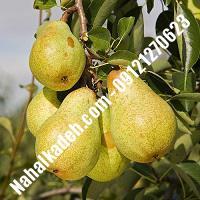 نهال گلابی شاه میوه گلابی شاه میوه نهالستان خاورمیانه 09121270623 دکتر ماندگار