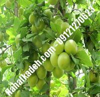 نهال گوجه سبز ازمیری | نهال گوجه سبز | نهالستان خاورمیانه ۰۹۱۲۱۲۷۰۶۲۳ دکتر ماندگار