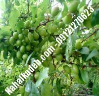 نهال گوجه سبز اسراییلی | نهال گوجه سبز | نهالستان خاورمیانه ۰۹۱۲۱۲۷۰۶۲۳ دکتر ماندگار