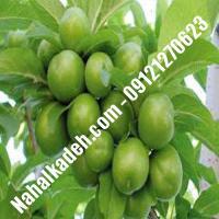 نهال گوجه سبز برغانی  نهال گوجه سبز  نهالستان خاورمیانه 09121270623 دکتر ماندگار