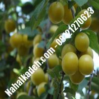 نهال گوجه سبز سلطانی نهال گوجه سبز نهالستان خاورمیانه 09121270623 دکتر ماندگار