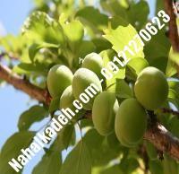 نهال گوجه سبز شهریار | نهال گوجه سبز | نهالستان خاورمیانه ۰۹۱۲۱۲۷۰۶۲۳ دکتر ماندگار