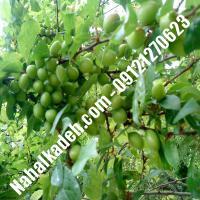 نهال گوجه سبز مراغه  نهال گوجه سبز  نهالستان خاورمیانه 09121270623 دکتر ماندگار