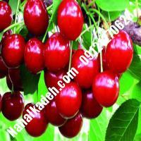 قیمت خرید نهال آلبالو در بوئین زهرا | 09120460327