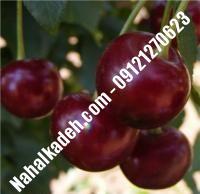 قیمت خرید نهال آلبالو در حمیدیا | ۰۹۱۲۰۴۶۰۳۲۷