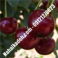 قیمت خرید نهال آلبالو در حمیدیا   09120460327
