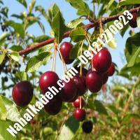 قیمت خرید نهال آلبالو در زنجان   09120460327