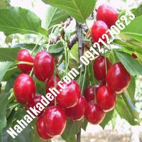 قیمت خرید نهال آلبالو در سقز | 09120460327