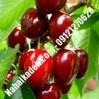 قیمت خرید نهال آلبالو در سمنان   09120460327
