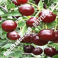 قیمت خرید نهال آلبالو در شهریار |09120460327