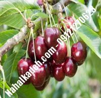 قیمت خرید نهال آلبالو در لاهیجان | ۰۹۱۲۰۴۶۰۳۲۷