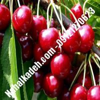 قیمت خرید نهال آلبالو در کردستان   09120460327
