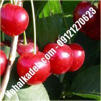 قیمت خرید نهال آلبالو در کهک   09120460327