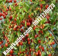 قیمت خرید نهال آلبالو در گنبد کاووس | ۰۹۱۲۰۴۶۰۳۲۷