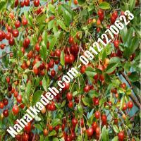 قیمت خرید نهال آلبالو در گنبد کاووس | 09120460327