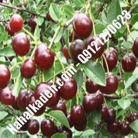قیمت خرید نهال آلبالو در یزد | 09120460327