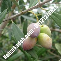 قیمت خرید نهال زیتون در ایرانشهر  09120460327
