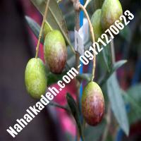 قیمت خرید نهال زیتون در بندر کنگان   09120460327