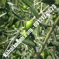 قیمت خرید نهال زیتون در تاکستان  09120460327