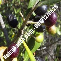 قیمت خرید نهال زیتون در حمیدیا| 09120460327