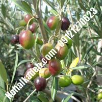 قیمت خرید نهال زیتون در سمنان  09120460327
